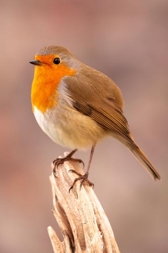 Pretty bird with a nice red plumage Beautiful Life Man Adults Environment Nature Animal Autumn Bird Small Natural Wild Brown White wildlife robin branch common