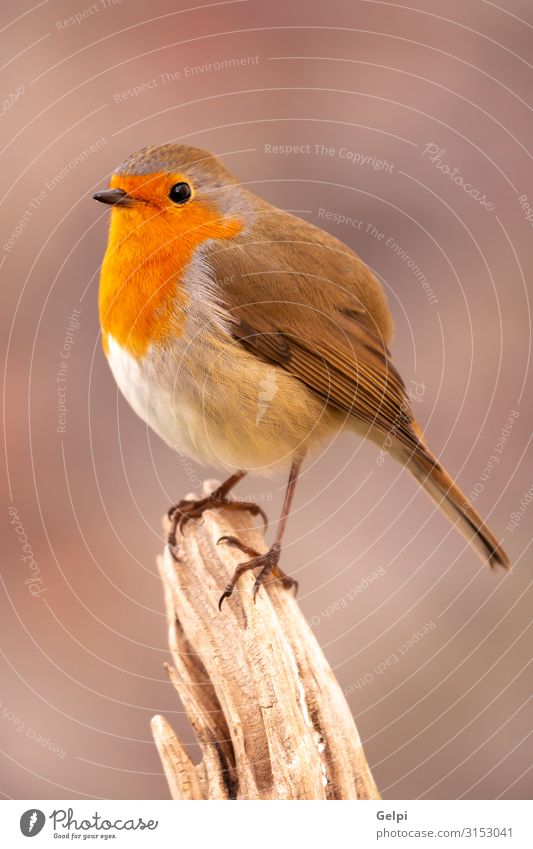 Pretty bird with a nice red plumage Nature Man Beautiful White Animal Adults Life Autumn Environment Natural Small Bird Brown Wild Europe Feather