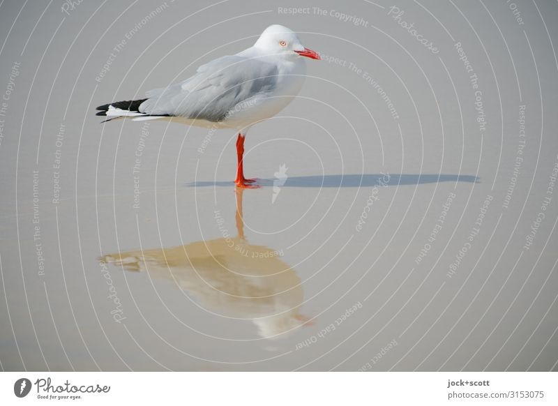 silver gull triple ll Pacific beach Wild animal Silvery gull 1 Stand Exceptional Wet Gray White Perspective Surrealism Symmetry Shadow play 3 Reaction