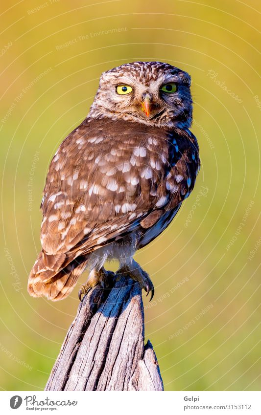 Cute owl, small bird with big eyes Beautiful Nature Animal Forest Bird Wing Small Funny Natural Wild Brown Yellow Gold Green Black White wildlife Owl Prey