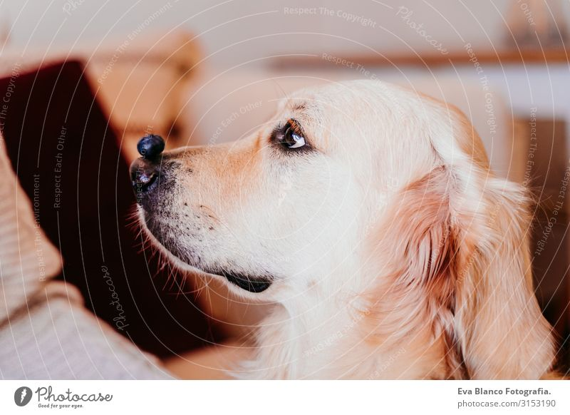 cute golden retriever dog at home holding a blueberry on his snout. adorable obedient pet. Home, indoors and lifestyle Golden Retriever Dog Fruit Snout Nose