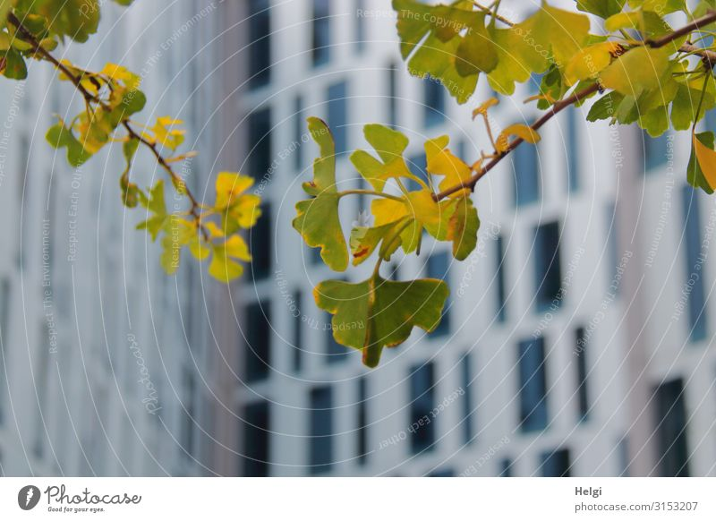 Close-up of branches with green-yellow ginkgo leaves in front of a modern high-rise building with many windows Environment Nature Plant Autumn Tree Leaf Twig
