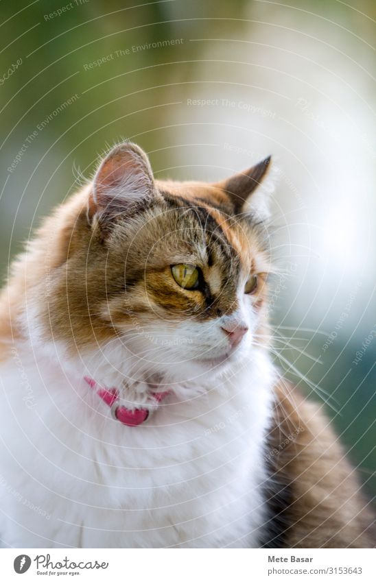 Portrait of a calico cat looking away. Beautiful Face Woman Adults Mouth Fur coat Pet Cat Red White tabby orange furry fluffy ear head eye nose Whisker collar