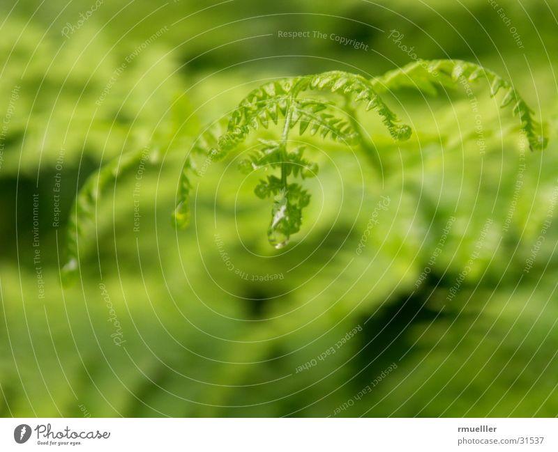 The raindrip fern II ...the same forest walk in the same rain )