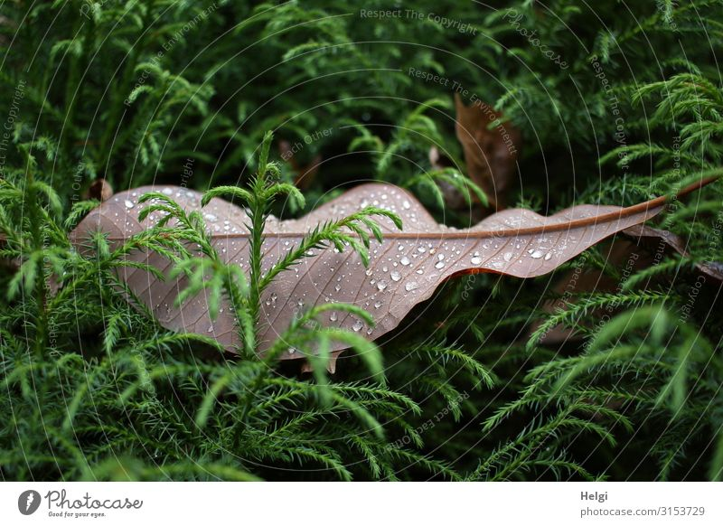 a large brown leaf with raindrops lies between green branches Environment Nature Plant Drops of water Autumn Tree Leaf Foliage plant Park Lie To dry up Growth