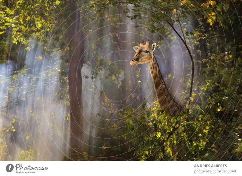 Giraffe - Walk through Fog Vacation & Travel Nature Summer Colour Beautiful Green Animal Calm Forest Environment Tourism Freedom Orange Trip Park