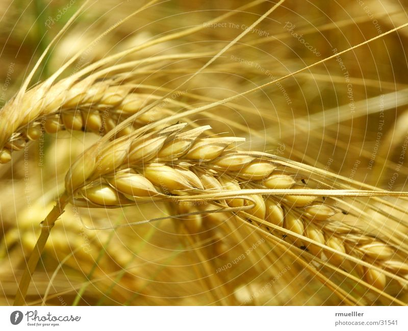 Nature Yellow Field Gold Food Nutrition Grain Harvest Feed Barley
