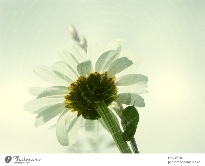 Nature Beautiful White Flower Green Summer Yellow Meadow Pure