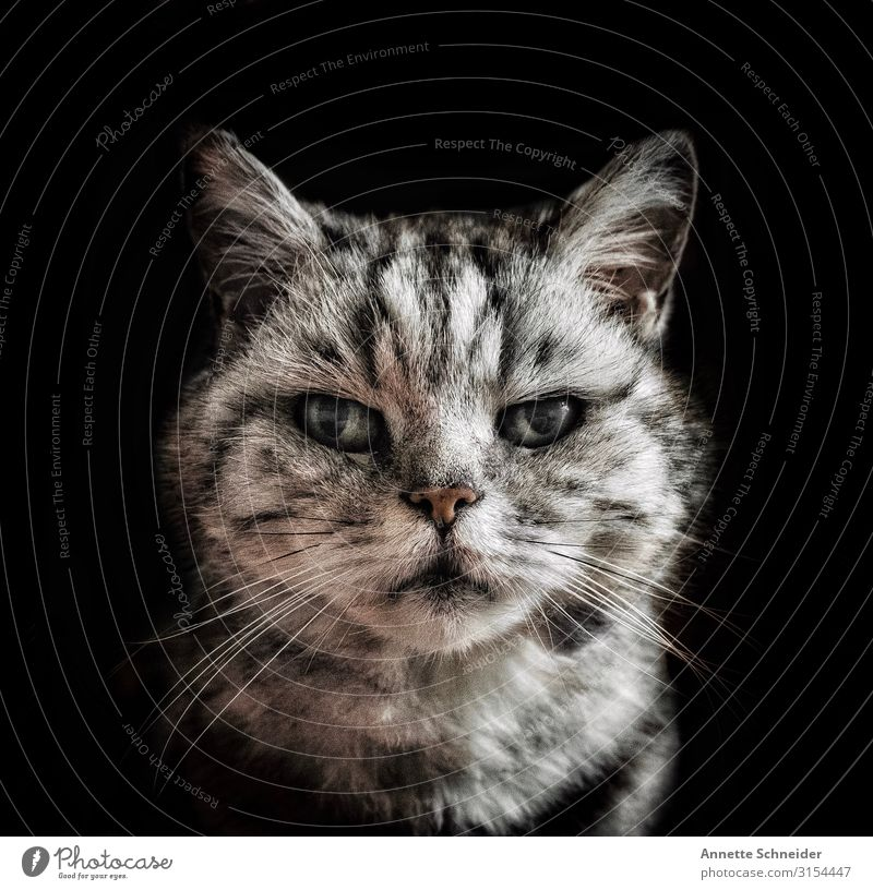 Old cat Animal Pet Cat Animal face 1 Gray Black Silver Colour photo Interior shot Neutral Background