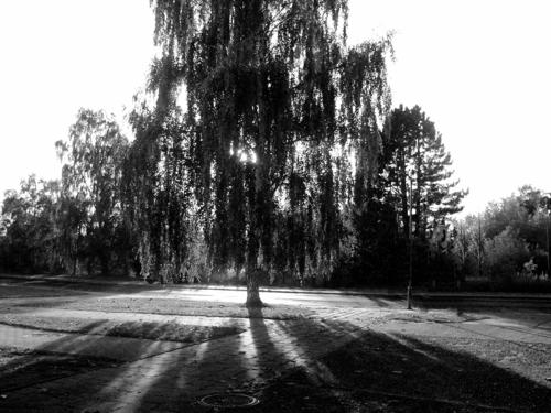 Birch in autumnal back light Nature Landscape Plant Sunlight Autumn Beautiful weather Tree Small Town Deserted Street Emotions Contentment Romance Grateful