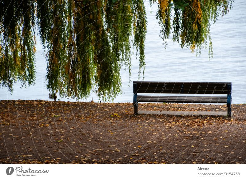 calm down | UT Hamburg Landscape Autumn Tree Weeping willow Autumn leaves Lakeside River bank Banks of the Alster Lanes & trails Promenade Duck 1 Animal Bench