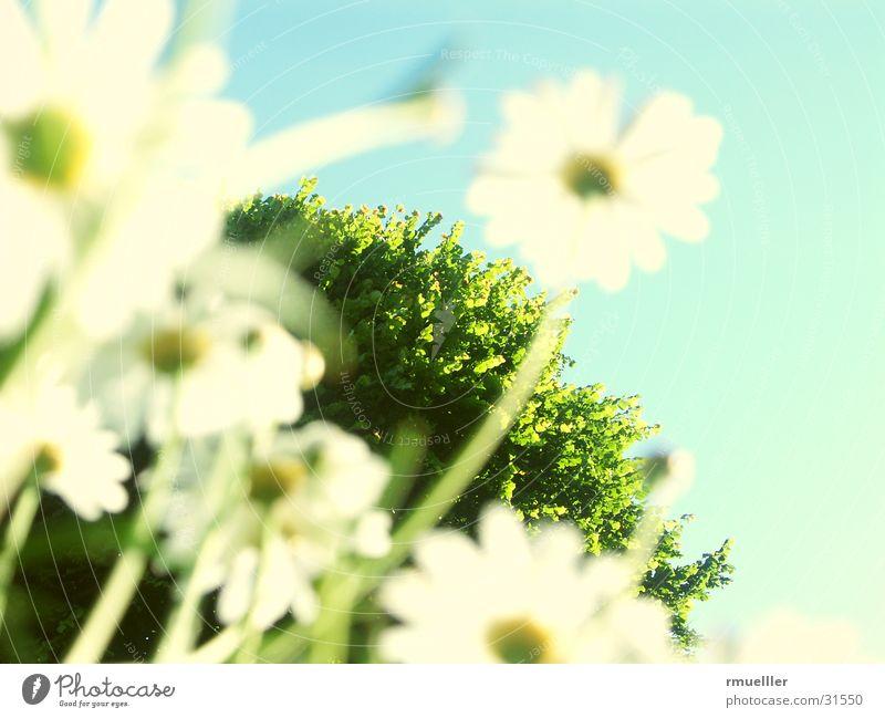 Nature Sky Tree Flower Marguerite