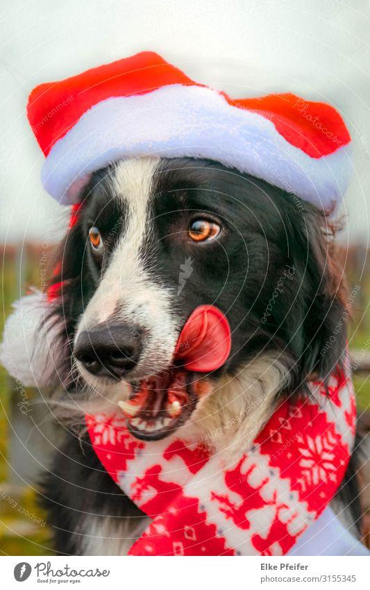 Der Weihnachtshund Dog Animal Religion and faith Love Happy Elegant Adventure Wait Cool (slang) Belief Pet Love of animals