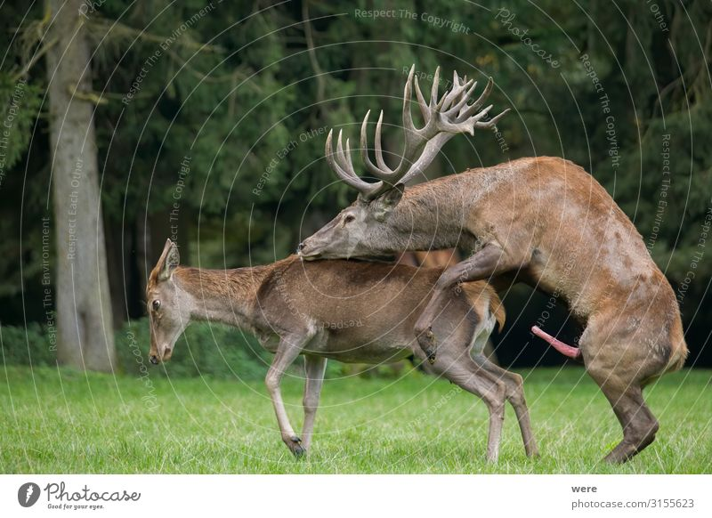 Copulating red deer on the forest glade Nature Animal Wild animal Red deer 2 Relaxation Sex Sports Eroticism Joy Sexuality Capreolus capreolus