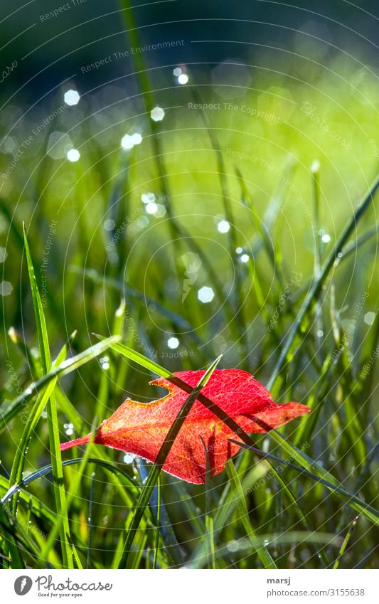 Red-bright, damaged autumn leaves caught in the wet grass. autumn leaf Grass Wet Illuminate corrupted Autumnal autumn mood entangled Contrast Rich in contrast