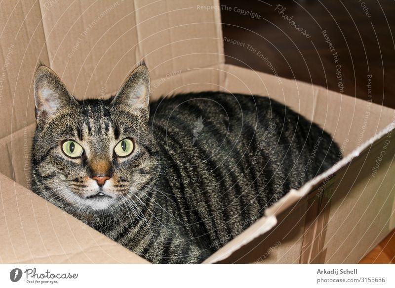 A cat in a box or packet. Cats love packaging. adorable animal animals background beautiful black carton closeup container curl cute deliver domestic eye eyes