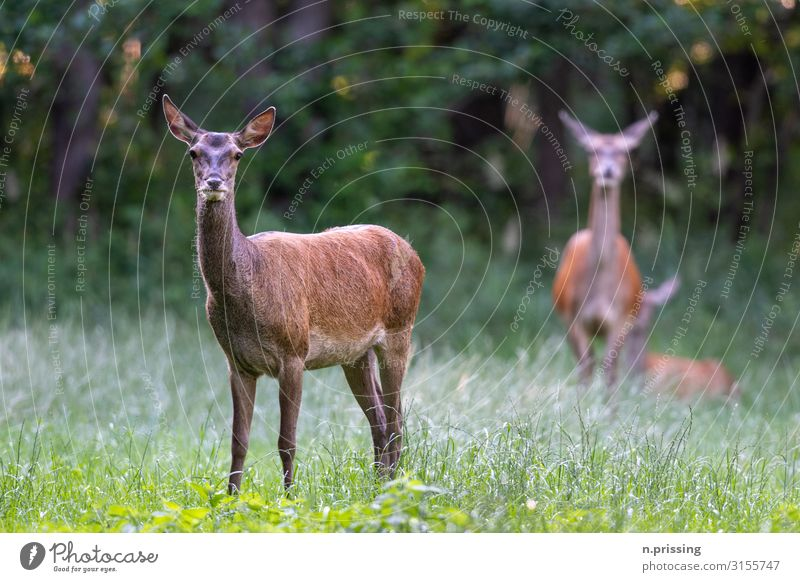 Red deer cow Animal Wild animal Cow Hind Pack Hunting wildlife animals Colour photo Exterior shot Day Central perspective Animal portrait