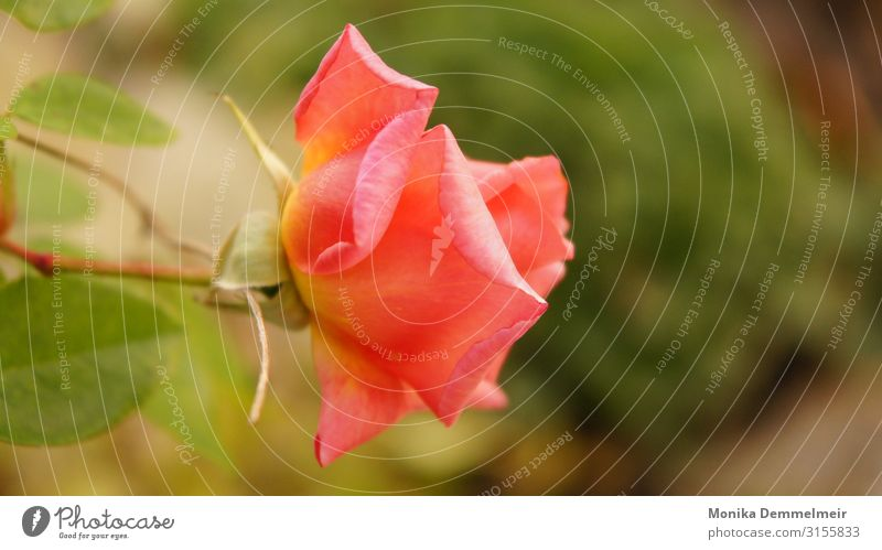 rose Nature Plant Summer Flower Rose Blossom Garden Park Village Esthetic Beautiful Eroticism Thorny Pink Love Loyalty Romance Lust Goodness To console Grateful