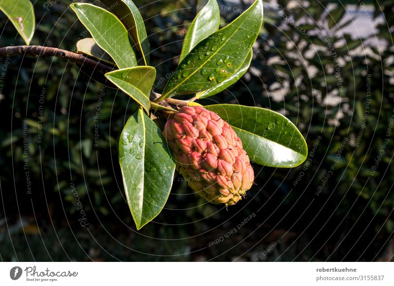 Fruit of an Annona plant From bobmachee Vacation & Travel Summer Mountain Garden Environment Plant Wild plant annona Round Juicy Epirus Greece Colour photo