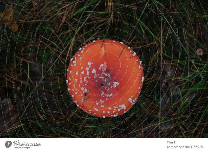 Nature Plant Landscape Autumn Environment Grass Mushroom Survive Brandenburg Mushroom cap Amanita mushroom