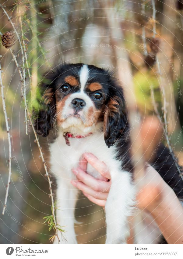 Cute cavalier puppy held between cones Animal Pet Dog 1 Fantastic Friendliness Small Beautiful Happiness Cool (slang) Optimism Love of animals Goodness Serene