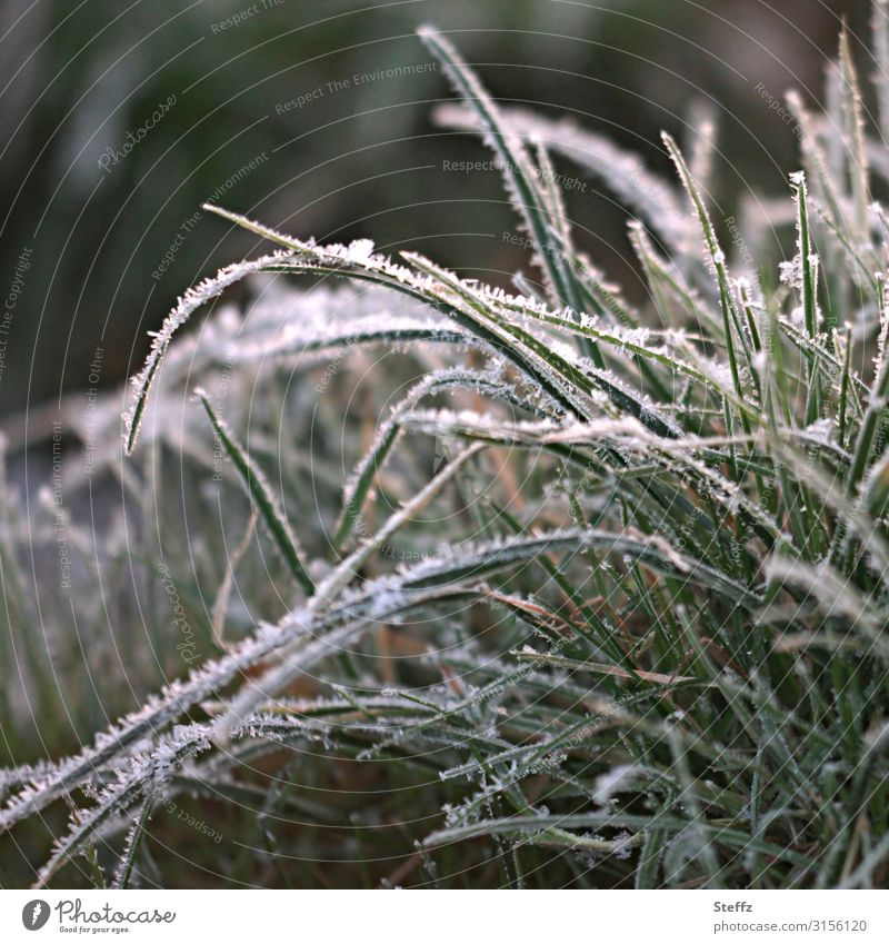 Grass with hoarfrost Environment Nature Autumn Winter Ice Frost Plant Wild plant Tuft of grass Garden Freeze Cold Natural Beautiful Gray Green White Calm