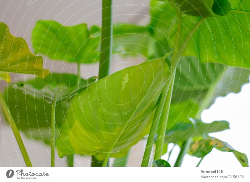 Macro close-up of a green house plant, green leaves Herbs and spices Pot Exotic Beautiful Summer House (Residential Structure) Garden Decoration Gardening