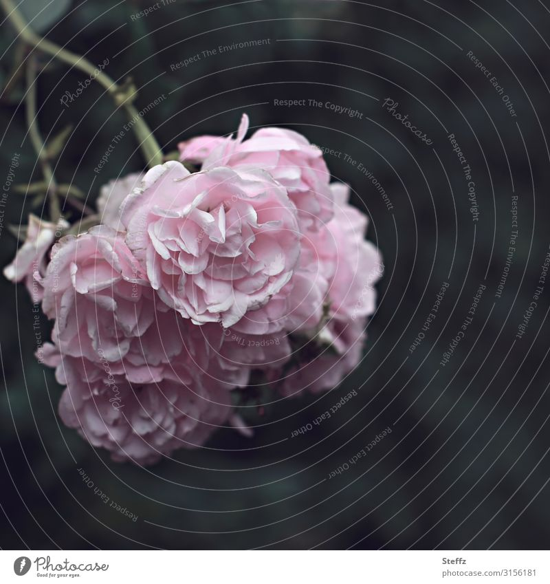 poet`s rose Environment Nature Summer Flower Blossom Rose Rose blossom Rose plants Garden rose Rose garden Blossoming Fragrance Natural Beautiful Pink Moody