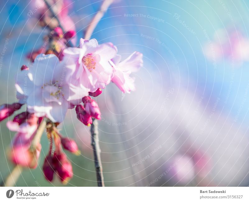 Spring Bloom Background Beautiful Fragrance Easter Nature Plant Tree Flower Blossom Garden Fresh Bright Pink White Beginning Cherry tree Cherry blossom sunny