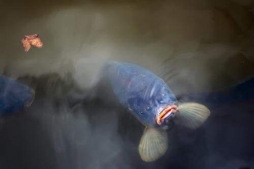 a big hungry carp keeps his mouth out of the water and waits for food Environment Nature Animal Water Autumn Leaf Park Pond Fish Animal face Carp 1 Observe