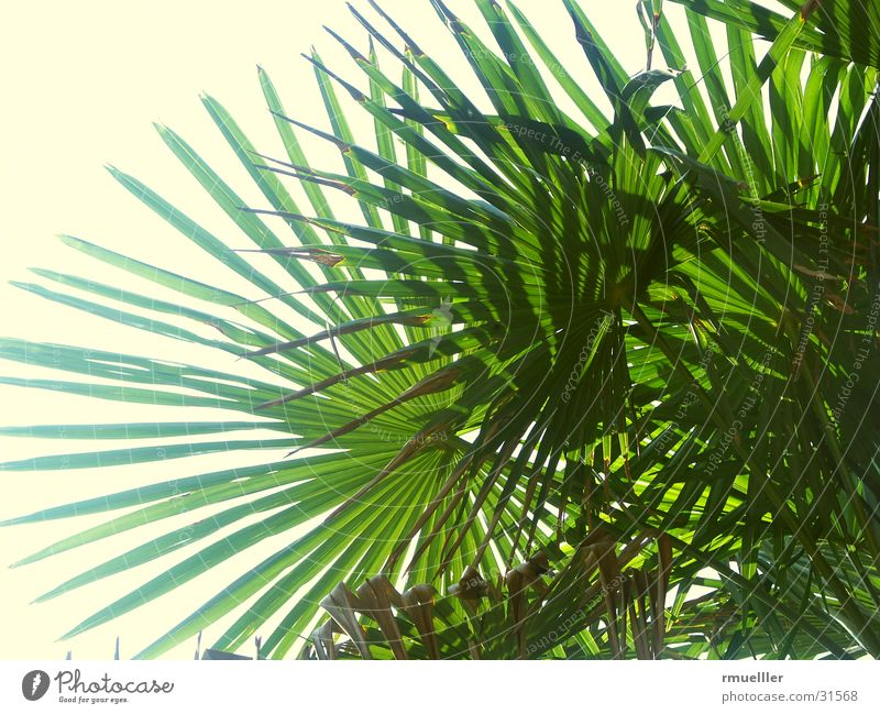 palm fronds Palm tree Green Leaf Vacation & Travel South Summer Sky Nature Close-up