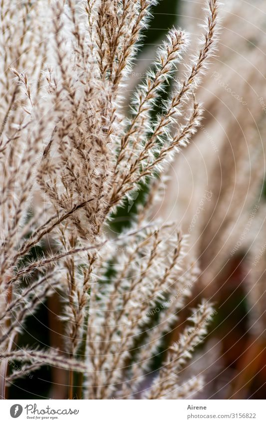plantenic | UT Hamburg Plant Grass Growth Soft Brown Warm-heartedness Sympathy Cuddly Delicate Light brown Colour photo Exterior shot Deserted Day