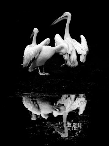 pelicans Animal Bird Wing Zoo 3 Group of animals Stand Authentic Exceptional Beautiful Natural Contentment reflection Feather Cleaning Playing card