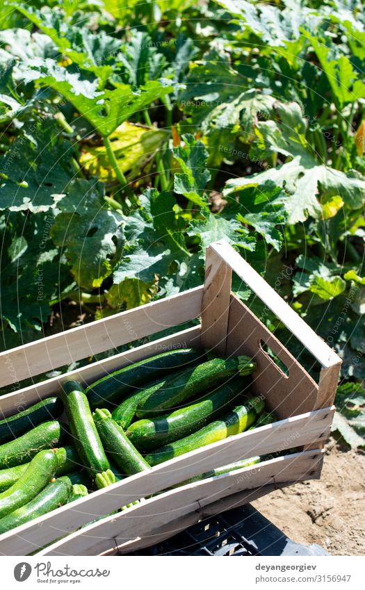 Picking zucchini in industrial farm. Wooden crates Vegetable Fruit Vegetarian diet Summer Garden Gardening Nature Flower Growth Fresh Natural Green Zucchini