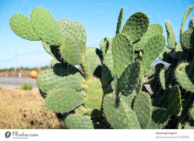 Industrial cactus plantation. Growing cactus. Vegetable Fruit Eating Summer Garden Nature Plant Tree Cactus Leaf Growth Fresh Delicious Natural Thorny Red