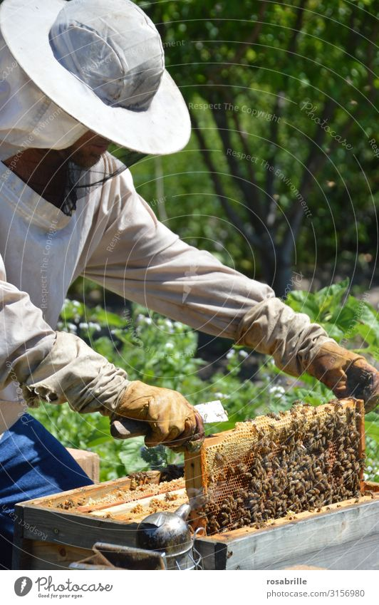 Beekeeper with gloves and veil controls his beehive and searches for queen cells Leisure and hobbies Work and employment Human being Man Adults 1 Environment