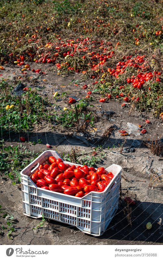 Picking tomatoes manually in crates. Tomato farm. Plant Growth Fresh Natural Red Agriculture picking Industrial Crate cultivate Biotechnology production