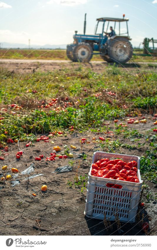 Picking tomatoes manually in crates. Tomato farm. Plant Tractor Growth Fresh Natural Red Agriculture picking Industrial Crate cultivate Biotechnology production