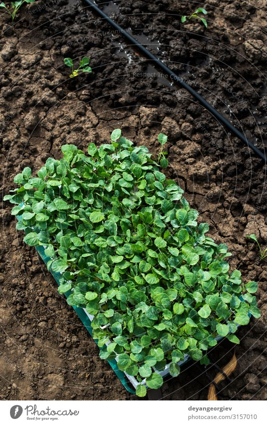 Seedlings in crates on the agriculture land. Planting broccoli Vegetable Garden Gardening Industry Environment Nature Earth Leaf Growth Fresh Green Farm big