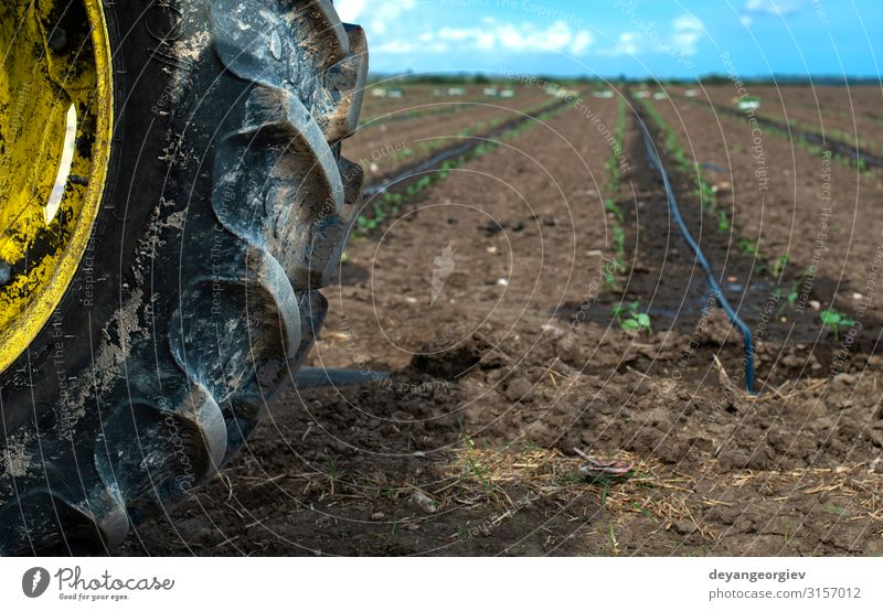 Tractor tire seedlings in rows on the agriculture land. Vegetable Garden Gardening Industry Environment Nature Plant Earth Leaf Growth Fresh Green Seedlings