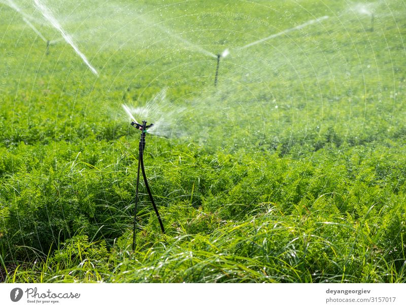 Watering plantation with carrots. Irrigation sprinklers Vegetable Garden Gardening Technology Environment Nature Plant Earth Leaf Tube Line Growth Green