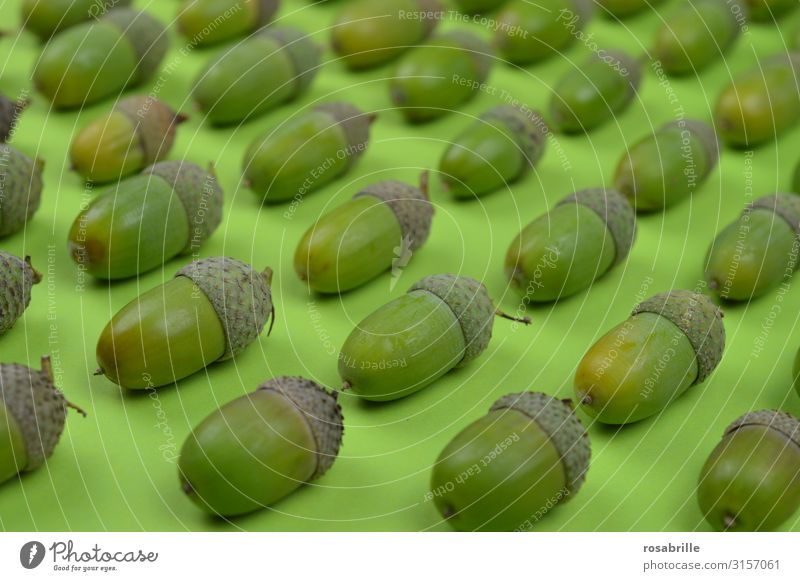 tidy acorns Fruit Summer Environment Nature Plant Autumn Hat Glittering Lie Growth Together Natural Round Many Green Dependability Orderliness Arrangement Row