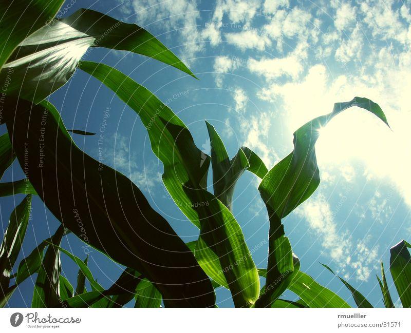 Sky Green Clouds Harvest Maize