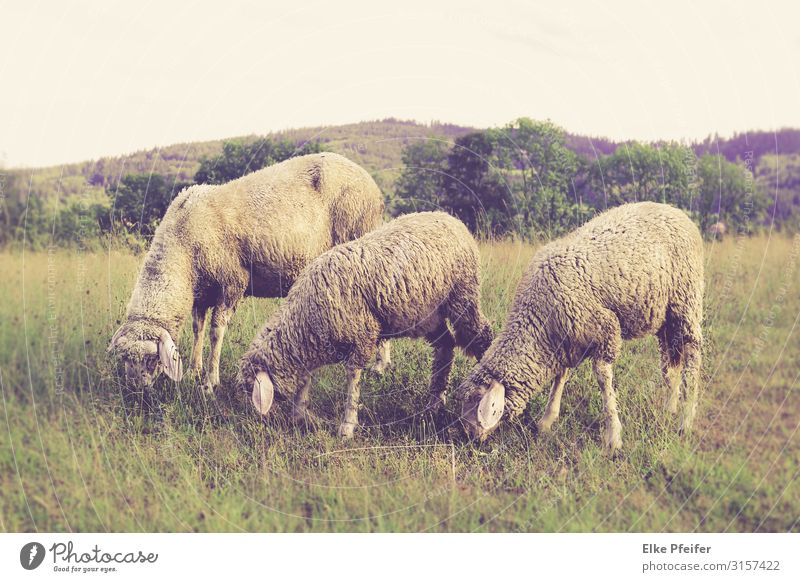 Schafe Nature Landscape Animal Field Farm animal Sheep 3 Eating Free Happiness Beautiful Moody Distress Colour photo Exterior shot Deserted Day