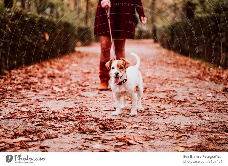young woman and her cute jack russell dog walking in a park. Love for animals concept Woman Dog Walking Park Autumn Forest Tree Jack Russell terrier Cute Small