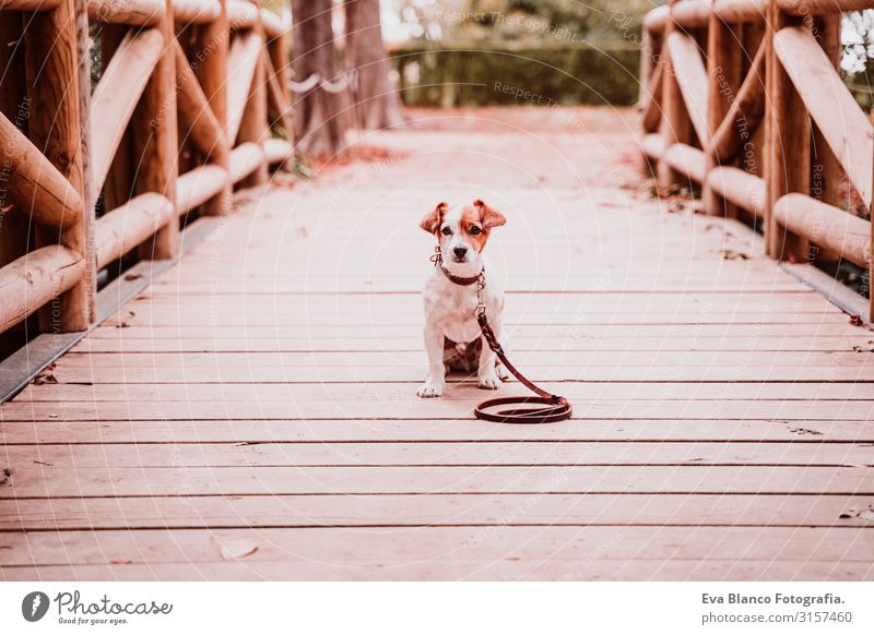 cute jack russell dog in a park sitting on a wood bridge and looking at the camera Dog Jack Russell terrier Terrier Pet Exterior shot Sit Window
