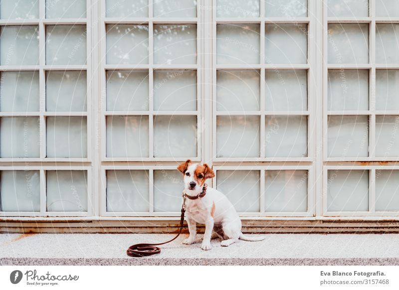 cute jack russell dog sitting outdoors. Window background Dog Jack Russell terrier Terrier Pet Exterior shot Sit House (Residential Structure) Home Cute Small