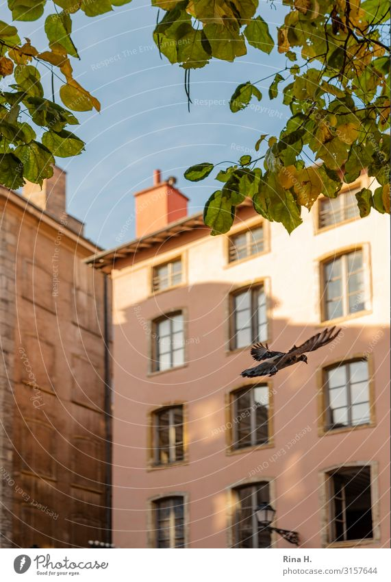 House (Residential Structure) Animal Leaf Autumn Wall (building) Wall (barrier) Bird Flying Bright Wild animal City trip Old town Cloudless sky Pigeon Lyon