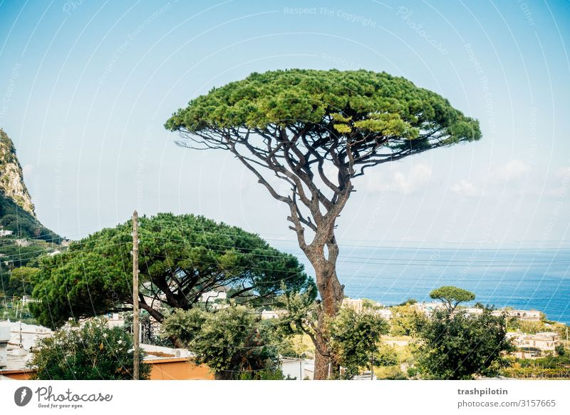Capri Pine Landscape Plant Tree Stone pine Ocean Italy Europe Vacation & Travel Treetop Colour photo Day