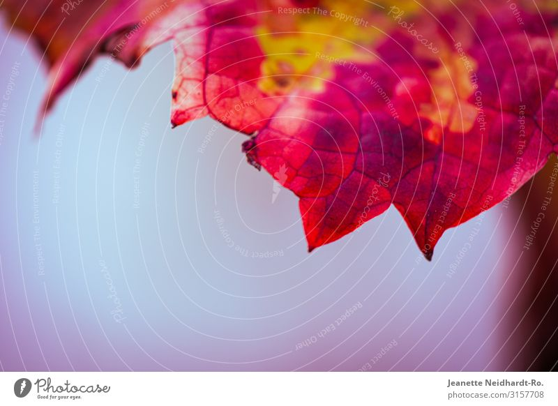 Vineyard leaves in autumn Autumn Vine leaf Blue Multicoloured Yellow Pink Red Nature Colour photo Macro (Extreme close-up) Deserted